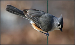 Baeolophus Bicolor (ioensis) Tags: baeolophus bicolor tufted titmouse 47181b©johnlangholz2017 webster groves mo missouri saint st louis jdl ioensis