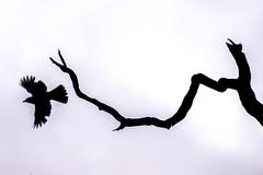 Flight of the blackbird (pakerholm) Tags: sigma150600 sigma150600f563dgsports sigma150600mmf563 sigmasport sigma 150600 600 ornithology birdwatchingnikon d600 d610 nikond600 nikond610 fullframe fullformat fågelskådning ornitologi oxelösund södermanland sörmland sweden sverigebrannäs brannäsvåtmark wetlands birds bird fågel fåglar linnut lintu wildlife animals vildadjur koltrast blackbird turdusmerula turdus thrush rastas mustarastas