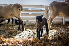 Lammie (JaderBug Photography) Tags: lamb suffolk suffolklamb sheep baa iowa barn nikond7100 nikon d7100