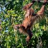 Confident [In Explore 1/19/17] (helenehoffman) Tags: greatape wildlife aisha primate mammal conservationstatuscriticallyendangered orangutan indonesia pongoabelii sandiegozoo sumatra nature animal