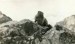 P1.CO1.050 (American Alpine Club Photo Library) Tags: fauna wildlife marmots rockymountainnationalpark