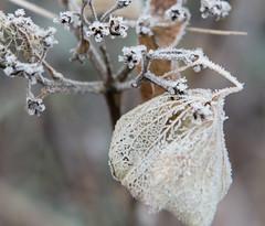 frost (=Mirjam=) Tags: nikond750 52in2017challenge macro hortensia frost flower leave lace nature closeup winter cold crisp januari 2017