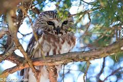 Northern Saw Whet Owl (tavarez.niurka) Tags: northern saw whet owl aegolius acadicus gufo chouette coruja buho lechuza eule buma fukaro hooter