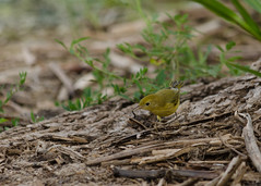 DSC_0047 (janelle.streed) Tags: yellowwarbler warbler bird avian animal wildlife nature outdoors northdakota usnwr
