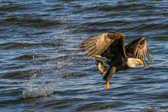 The Snatch            ..(enlarge) (jackalope22) Tags: eagle fish mississippi leclaire ia lock dam 14