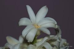 IMG_011957 - A snow white flower by sunrise (Monique van Gompel) Tags: snowwith flowerscolors canon canoneos750d 750d tamron tamronsp90 tamronsp90mm tamronsp90mmf28dimacro11vcusd white wit sunrise snowwhite zonsopkomst flower bloem hyacinthus hyacint wittehyacint hyacinthuslinnocence macrofotografie macro macrophotography