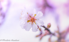 Back to Spring (frederic.gombert) Tags: flower flowers almond tree flora sun sunlight pink white color colors red spring bloom blooming macro nikon d810