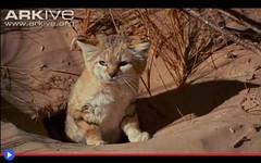 Il gatto invisibile che scava buche nel deserto (mondoanimale) Tags: gatti felini natura ambiente animali