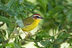 Rufous-capped Warbler (Basileuterus rufifrons) (Hamilton Images) Tags: rufouscappedwarbler basileuterusrufifrons bird feathers tropicalforest clouds canopylodge panama centralamerica canon 7dmarkii 500mm february 2017 img1268