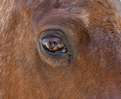 Keeping an Eye on ME, brightened. (tvdflickr) Tags: horse horses equine eye reflection reflections farm rural field photobytomdriggers thomasdriggersphotography