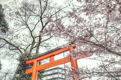 Japan Kyoto . .   DSC_6033 (Ming - chun ( very busy )) Tags: travel flower japan cherry nikon kyoto shrine blossom 28mm   cherryblossom  sakura nikkor f18     d800 28mmf18      traveljapan  hirano  sukura   nikon28mmf18 nikon28mm18  f1828mm