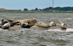 Robben Island in Dnemark (Langi Zwofnf) Tags: dnemark nordsee robben 2015 fan esbjerk paololivornosfriends