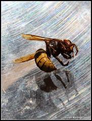 Das Ende (Jolanda Donn) Tags: fauna juli echte wespen insekten hymenoptera insecta hornisse vespidae vespinae vespacrabro hautflgler lebensende faltenwespen vergngliches canoneos650d todesinsekt juli2015 20150727