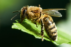 Bee (most.4711) Tags: sonya99 beercan kenko14xmc4dgx teleconverter nahlinse closeuplens cropped bokeh 510fav topv333