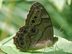 Northern Pearly-Eye - Enodia anthedon (midimatt) Tags: wisconsin butterfly wi newburg brownbutterfly saukville northernpearlyeye enodiaanthedon pearlyeye ozaukee riveredgenaturecenter mattdrollinger matthewdrollinger