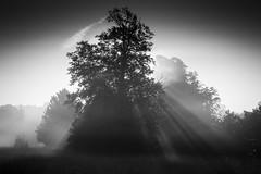 Monochrome black lit tree at sunrise. (JohnB's photos) Tags: park light england mist monochrome landscape nikon surrey rays nonsuch backlittrees backlittree nikon2470mm indurotripod induroct214 nikond610