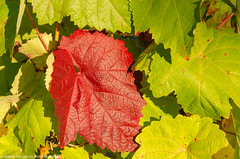 Autumn in the Vineyards 2. (andreasheinrich) Tags: autumn germany deutschland october colorful warm herbst sunny vineyards sonnig badenwrttemberg weinblatt weinberge farbenfroh vineleaf neckarsulm nikond7000