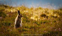 Mountain hare in autumn heather (markrellison) Tags: wild animal animals mammal iso800 hare heather wildlife derbyshire moors f80 lightroom 600mm mountainhare 1640sec lrcc canoneos1dmarkiv ef300mmf28lisusm2x lightroomcc