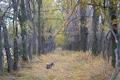 Autumn Pep (Pep's Hiking Team) Tags: autumn dog nikon schnauzer northdakota 2015 minischnauzer traildog d3200 wildernessdogs adventuresniffer