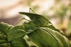 Cricket (JamesRKC) Tags: france colour detail macro insect cricket gard uzes