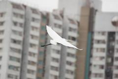 DSC03047 (rickytanghkg) Tags: white bird hongkong sony aves 70300mm egrets taipo 70300g a550 sonya550