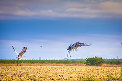 Sandhills on the move (champbass2) Tags: california nature northerncalifornia inflight wildlife migration sandhillcranes refuge pacificflyway champbass2 wintermigration llanosecowildliferefuge fall2015