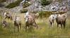 I've been spotted (Witty nickname) Tags: autumn fall nature animals kananaskis highwoodpass d800 bighornsheep 70200mm kananaskiscountry nikkor70200mmf28vr nikond800