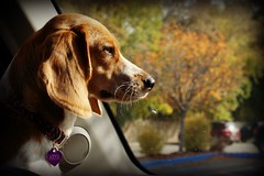 "*my beautiful beagle""Arya""* (^i^heavensdarkangel2) Tags: autumn colorado sony arya heavenly colorfulcolorado signsofautumn sonydslra380 sonydslr380 heavenlyfamilyfriends desbahallison heavensdarkangel2 autumn2015 beaglenamedaryaallison heavensbeagle aryathebeagle"