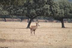rey del bosque (Lorenis Inidem) Tags: nature animal animals spain bosque fields macho ciervo natureshot ibrico reydelbosque