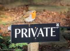 Private (www.chriskench.photography) Tags: uk greatbritain england bird robin unitedkingdom britain northamptonshire gb fujifilm nationaltrust northants lyveden xt1 mirrorless kenchie chriskenchphotography eastnorthamptonshiredistrict wwwchriskenchphotography