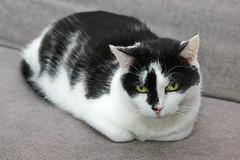 IMG_5537 (d_fust) Tags: cat kitten gato katze  macska gatto fust kedi  anak katt gatito kissa ktzchen gattino kucing   katje     yavrusu