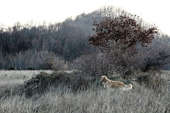 I feel something (RD_Elsie) Tags: goldenretriever tuscany toscana bastione