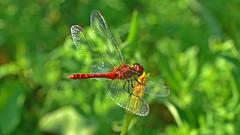 Blutrote Heidelibelle, Sympetrum sanguinieum (staretschek) Tags: heidelibelle sympetrumsanguineum blutroteheidelibelle segellibelle rotelibelle groslibelle