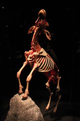 Science World - October 15, 2015 (rieserrano) Tags: sheep bodyworlds plastination