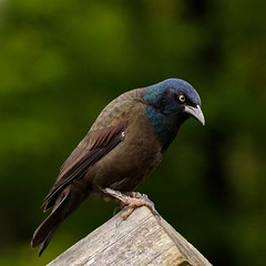 Might as Well Jump (Slow Turning) Tags: bird log vegetation perched commongrackle quiscalusquiscula southernontario