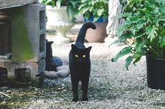 mooneyes (who lives in the greenhouse) (PrideOfTheLilacs) Tags: autumn plants cats pets black green nature animals yellow cat garden eyes witch magic greenhouse familiar