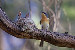 0I6A7526 Leaden Flycatcher (Female feeding at nest) (copsychus) Tags: bird birds australia breeding canberra act nesting 2015 leadenflycatcher pineislandreserve