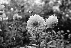 15.15-20 (analogish) Tags: bw film 35mm blackwhite cologne schwarzweiss dahlias koln sonnar kodaktrix400 dahlien leicamp 135film florakoln reflectaproscan7200 botanischergartenkoln jupiter850mmf2m39