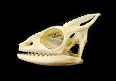 Crâne de Caméléon Panthère / Panther Chameleon Skull (Furcifer pardalis) (JC-Osteo) Tags: skeleton skull reptile os esqueleto bones bone chameleon crâne skelett reptilia caméléon squelette squamata furciferpardalis osteology furcifer chamaeleonidae ostéologie jctheil