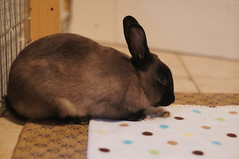 Toki (Tjflex2) Tags: boy pets canada cute rabbit bunny bunnies nature girl vancouver mammal furry pretty bc friendship fuzzy conejo small adorable cuddly coelho playful lapin usagi krolik kanin lagomorph toki leporidae lepus fenek iepure muyal kelinci ilconiglio coinin sungura leporidea