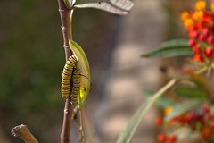 Hungry Hungry Caterpillars (Pinkdragonflydeb) Tags: caterpillars butterflyweed outside nature insect
