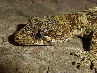 Mokopirirakau granulatus