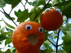 Birth of the Orange imogee (alansurfin) Tags: comic humor comical florida orange fruit fruta frutta oranges naranjas arance eyes looking citrus tangelo grove trees plants