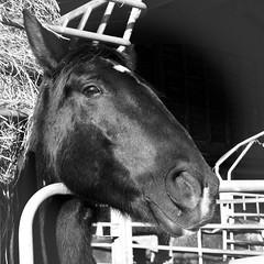 Hello ! (Sivispacem...) Tags: sigma merrill sd1 1835 art hsm black white horse cheval noir blanc square photo