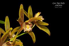 Cymbidium Tiger Baby AM/AOS (Orchidelique) Tags: nature plant flower orchid hybrid cymbidium cym tigerbaby am aos ncjc jdunkelberger floribundum pumilum tracyanum