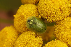 Cassida species on Tanacetum vulgare (henk.wallays) Tags: aaaa arthropoda asteraceae bladbaggar blattkäfer cassida cassidaspecies chrysomelidae coleoptera flora henkwallays insect lehtikuoriaiset lepenci nature plants stonkowate tanacetum tanacetumvulgare beetle bladhaantjes chrysomèles closeup coleoptere foliskaraboj insecta insecte insekt kafer kever leafbeetles macro natuur tor wildlife листое́ды