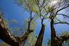 eleventh (Keith Midson) Tags: trees tree branches wychwood molecreek tasmania sun