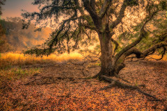 Rugged Oak, Version Two (MichaelSOwens) Tags: hdr live oak myakka river state park sarasota florida hanks for sharing