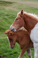 The Kiss _6925 (hkoons) Tags: icelandichorse openair clouds country horses iceland animals countryside equestrian farm farms field fodder foothill grains grass grassland graze grazing green greens hill horse island landscape mammal mammals mountainside nature north outdoor outdoors pastoral pasture pets ponies pony ranch riding sky sun sunlight