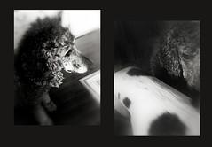 schubert closing in on 15... (bunchadogs & susan [fell down,broke rib]) Tags: schubertthestandardpoodle iphone blackieapp diptych fortunacalifornia littledoglaughednoiret